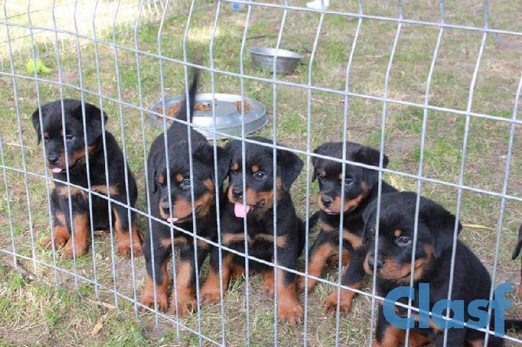 Cachorro Rottweiler De Sangre Europea