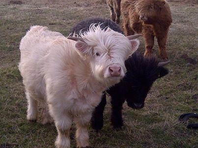 Mini Cow...I want one