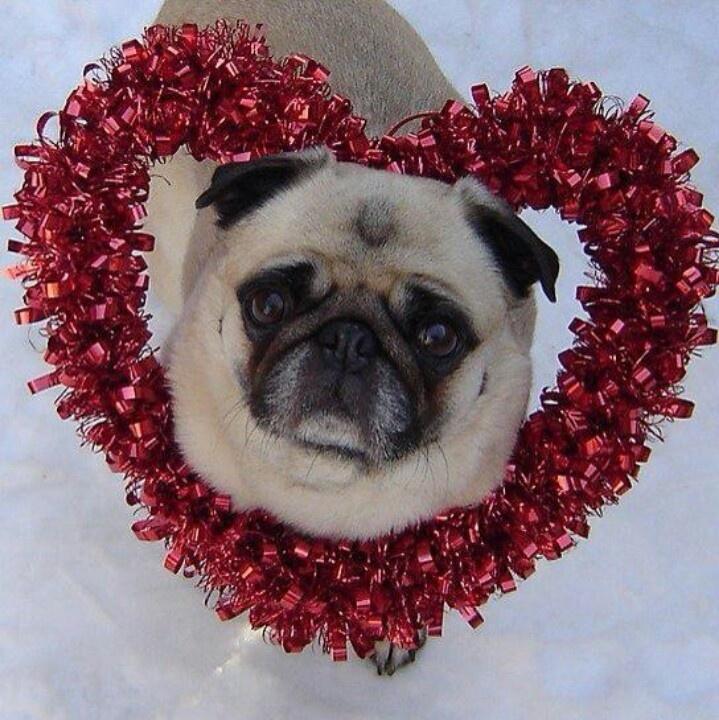 valentine's pug