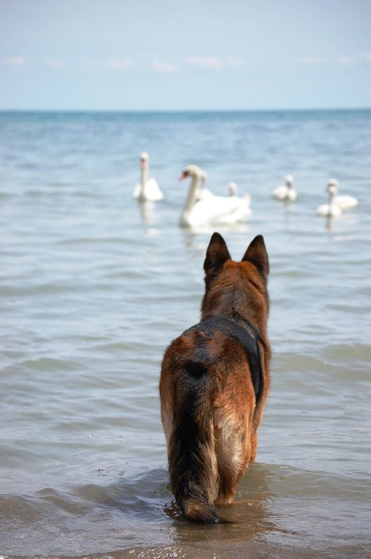 German Shepherd one litle two little three little swans or forget it  lets just swim www.capemaydogs.com