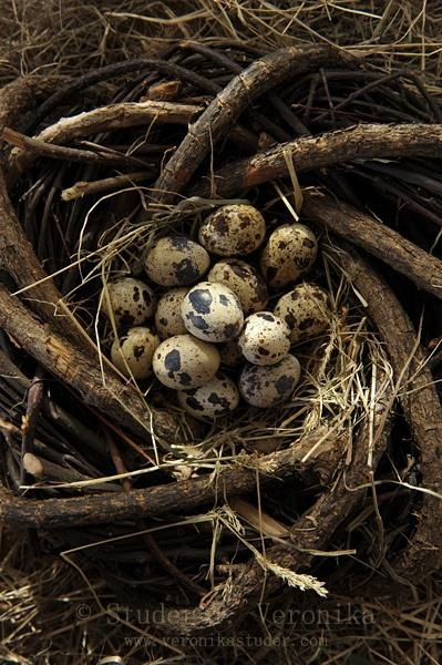"""""""Quail Eggs"""" - contain 13 percent proteins compared to 11 percent in chicken eggs. Also contain 140 percent of vitamin B1 compared to 50 percent in chicken eggs and provides five times as much iron and potassium."""