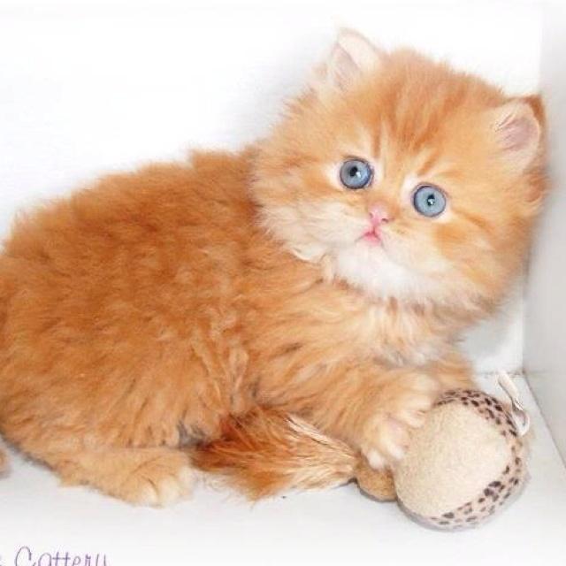 Rug Huggers Kittens | Rug Hugger Persian Kittens | Eternal ... |Baby Doll Face Kittens