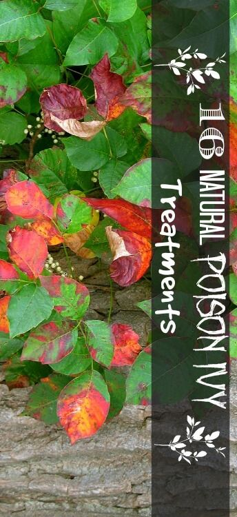 16 Natural Poison Ivy Treatments- Learn about which herbal remedies work best for drying up poison ivy and relieving itchy symptoms.