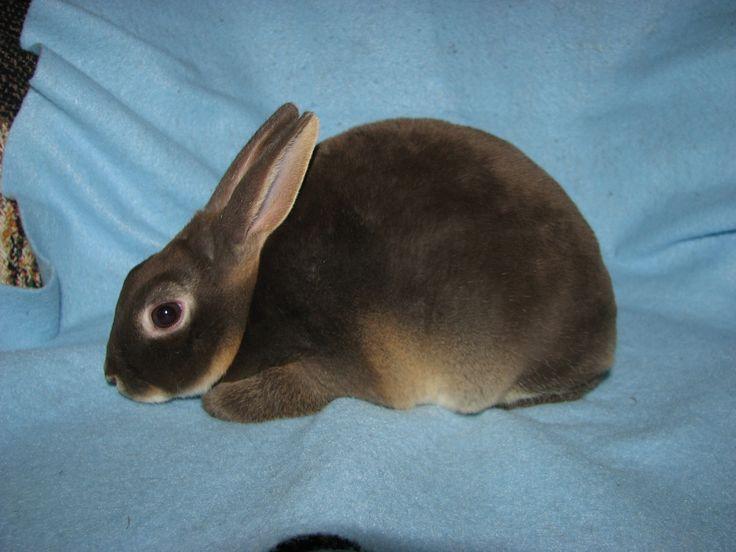Foxaway Rabbits-Mini Rex Rabbits for Sale
