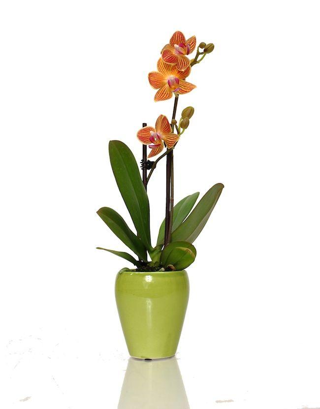 bright colored miniature orchid