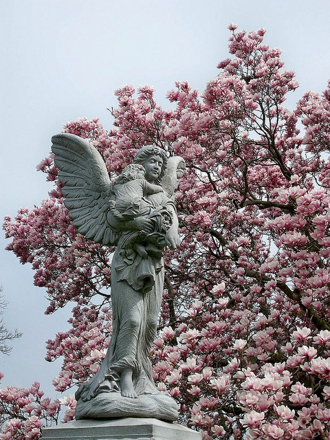 Angel Magnolia        At Lutheran All Faiths Cemetery.