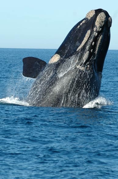 I'VE BEEN THERE! This whale is in Puerto Madrine, Chubut in Argentina and I went whale watching there!