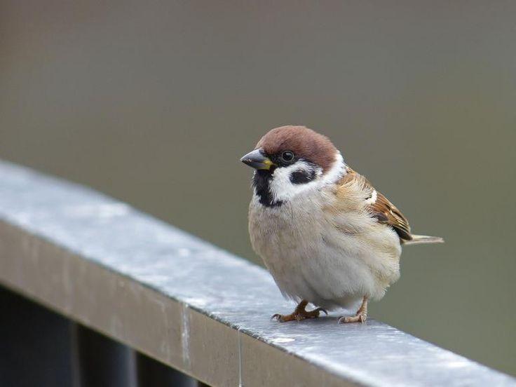 すずめ Eurasian tree sparrow  by gregjr http://en.wikipedia.org/wiki/Eurasian_tree_sparrow
