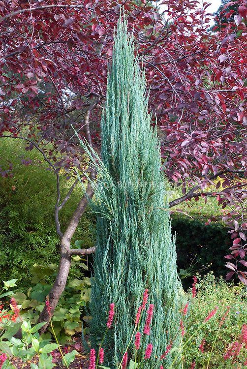Narrow columnar evergreen shrubs juniperus virginiana for Small narrow trees for gardens