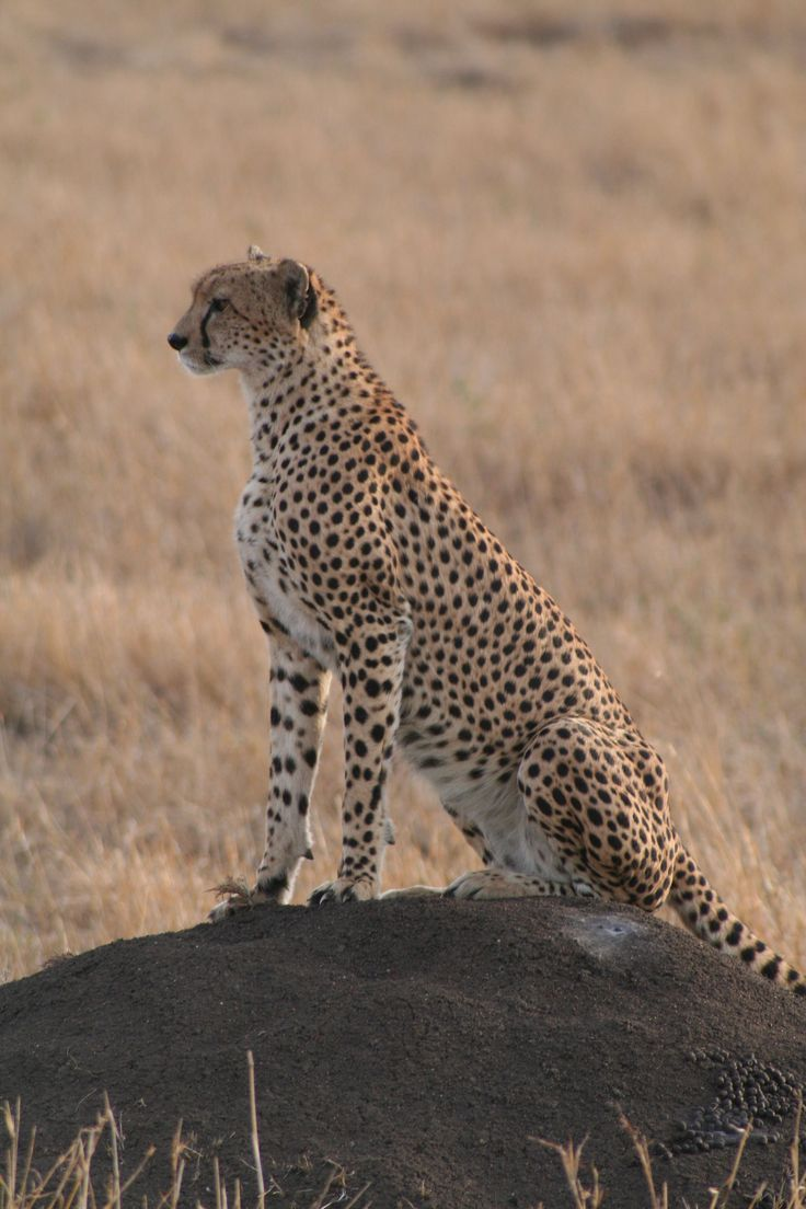 A cheetah I met while on holiday in Kenya - a magical moment, I could almost touch him (if he even is a he!)