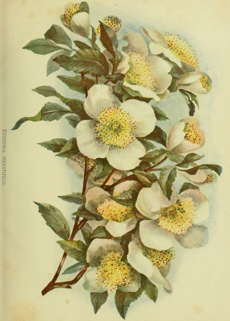Ulmo - Eucryphia cordifolia - Elegant tree native to Chile and Argentina - Aromatic nectar transformed into flavorful, gourmet quality Chilean Ulmo honey - 1888