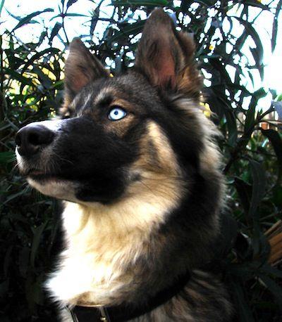 El Gerberian Shepsky es un cruce de dos razas muy inteligentes, por su posesión de cualidades muy deseables y otras características atractivas, el pastor alemán y el Siberian Husky.