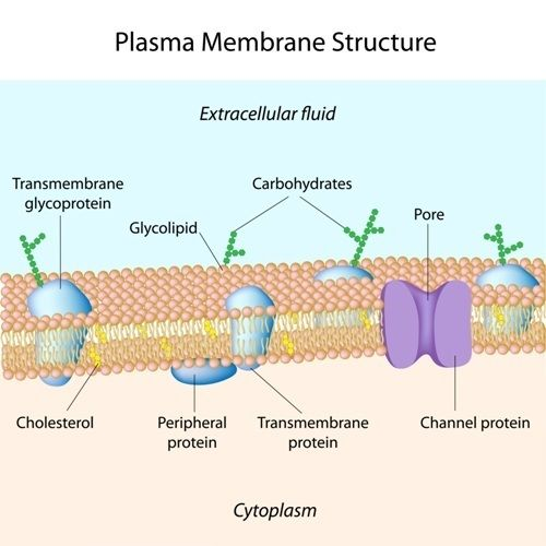 Cell membrane structure and active vs