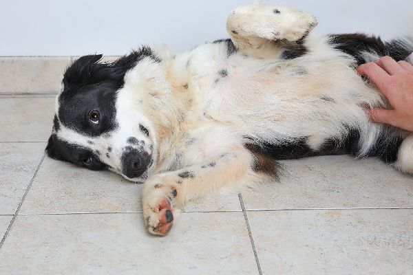 Get The Facts About Bowel Obstruction In Dogs Diabetic Dog Pet