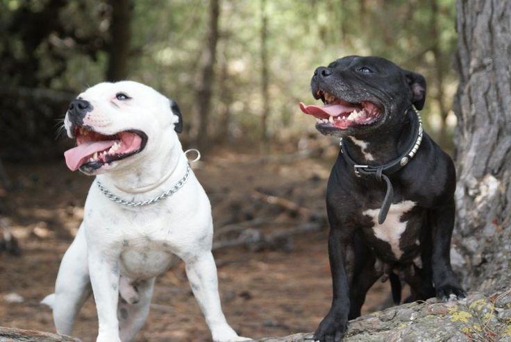 Staffordshire Bull Terrier Rescue Oregon Best 10+ Staffordshire...