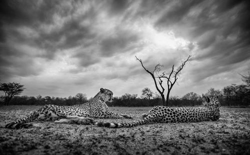 Today is World Wildlife Day and the theme for this year is big cats! Wildlife photographer Shannon Wild hopes to educate as many people as possible about animals they may never have the chance to see for themselves. Cheetahs are notorious for being the fastest animal on land but for these two brothers an afternoon rest was in order and the approaching cloud cover was a welcome relief from the sun. They were indifferent to my presence; allowing me a rare and intimate look into their life as I…