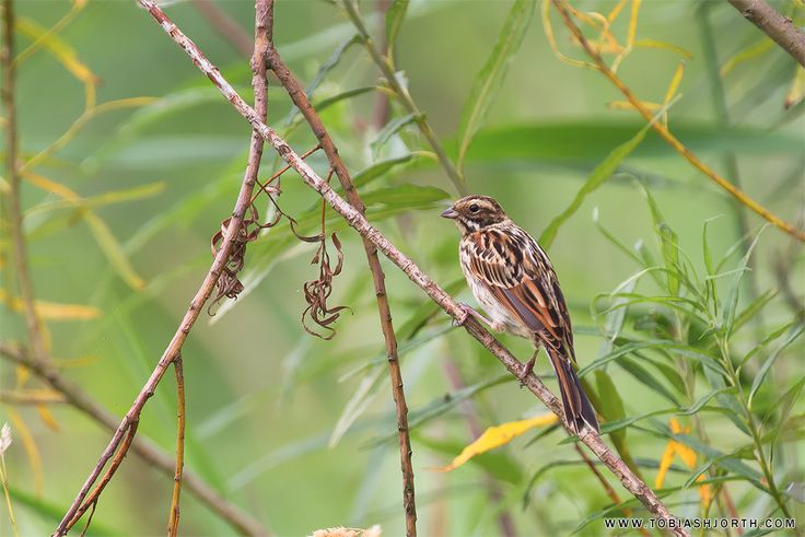 Reed Bunting 5 by tobias hjorth