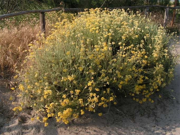 Helichrysum italicum - Helichrysum italicum - Wikipedia
