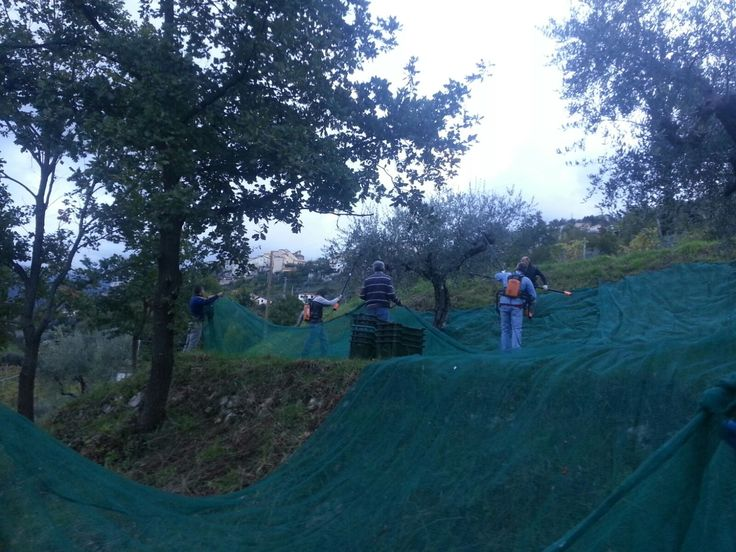 e dopo la vendemmia , arriva la raccolta delle olive...!! Olio extra vergine di oliva 2016... #ICiacca...