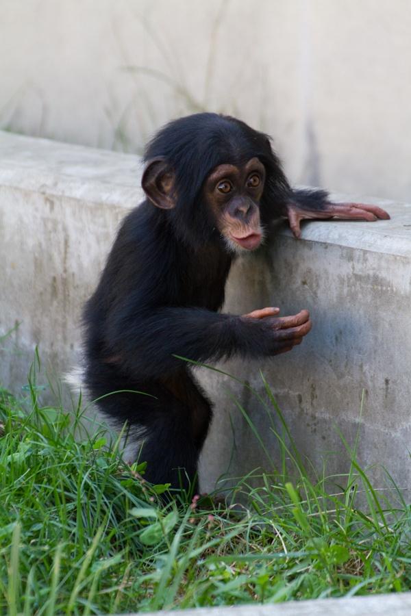 チンパンジーの画像 p1_21