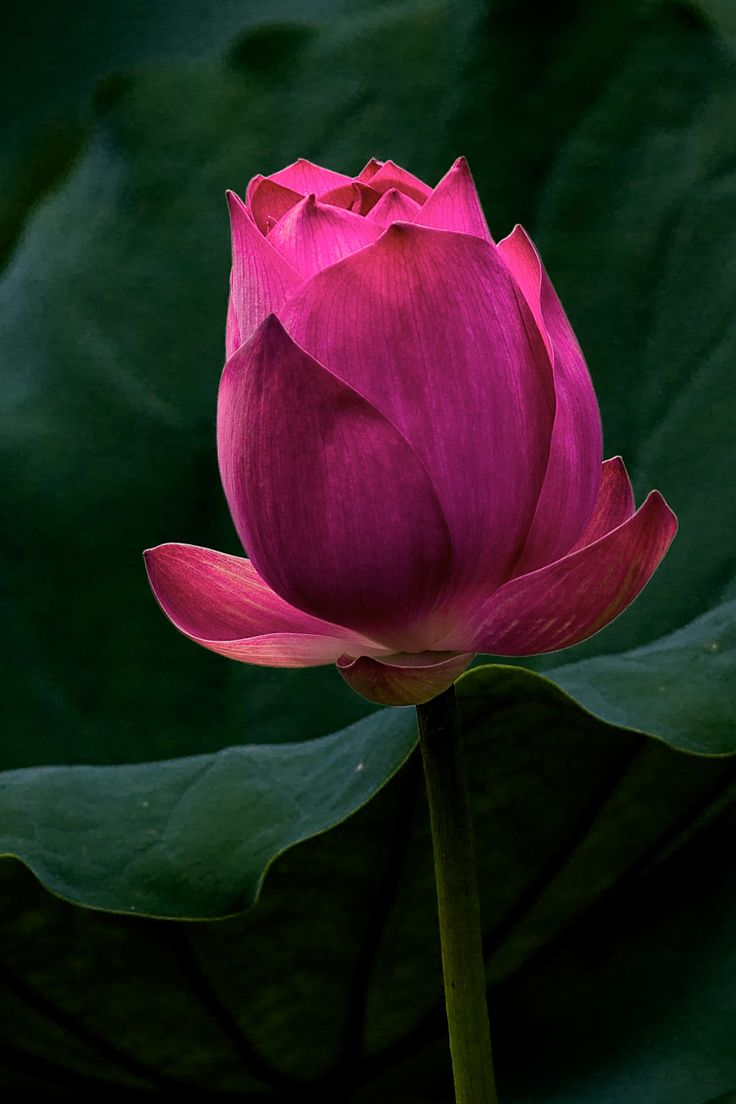 656 best lotus images on pinterest lotus flowers flower and plants as my eyes sweep across the lotus field this deep red lotus bud catches my eye the sun position was just right being early in the morning soft and clear dhlflorist Choice Image