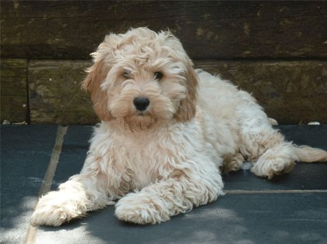 We Had A Cockapoo Named Tiki When I Was A Kid She Was