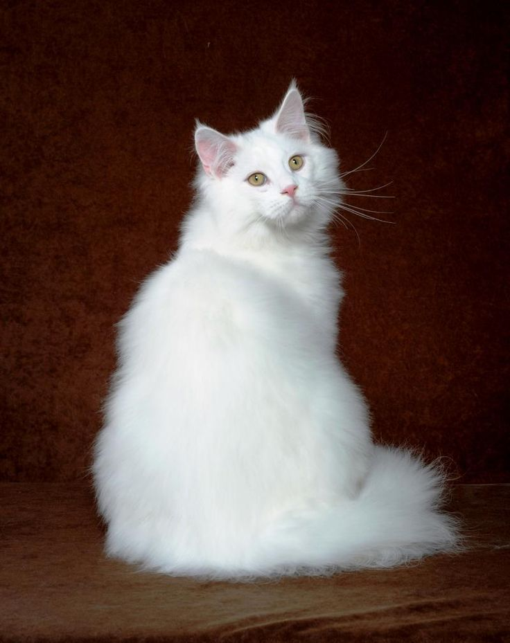 Maine Coon, White. Prairiebaby Bring On The Rain PP