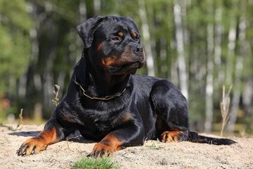 rottweiler   Owners of stereotypically aggressive dog breeds such as Rottweilers ...