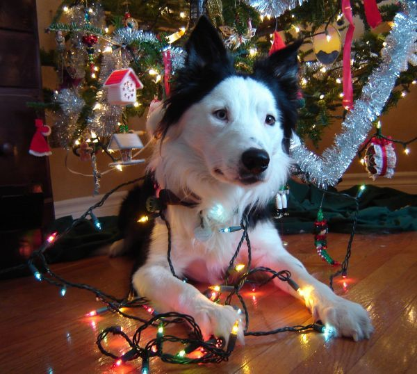 192 Best Dogs Wrapped In Christmas Lights Images On
