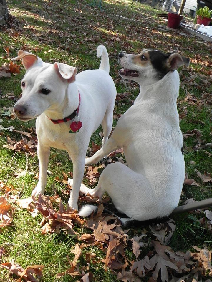 Cavapoo Puppies For Adoption Ny