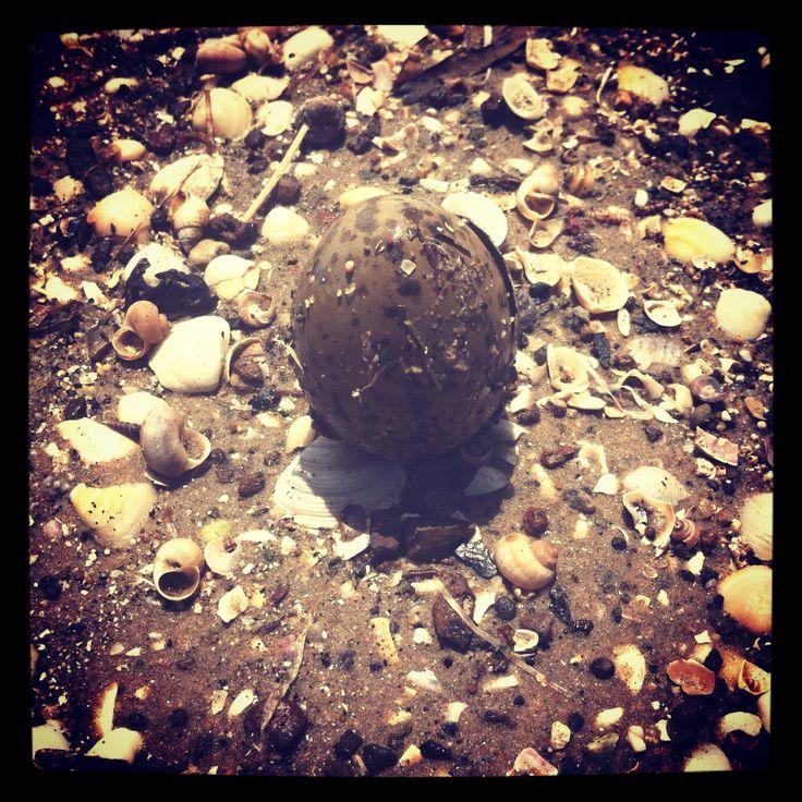 Gull egg, Forcett, Tasmania.