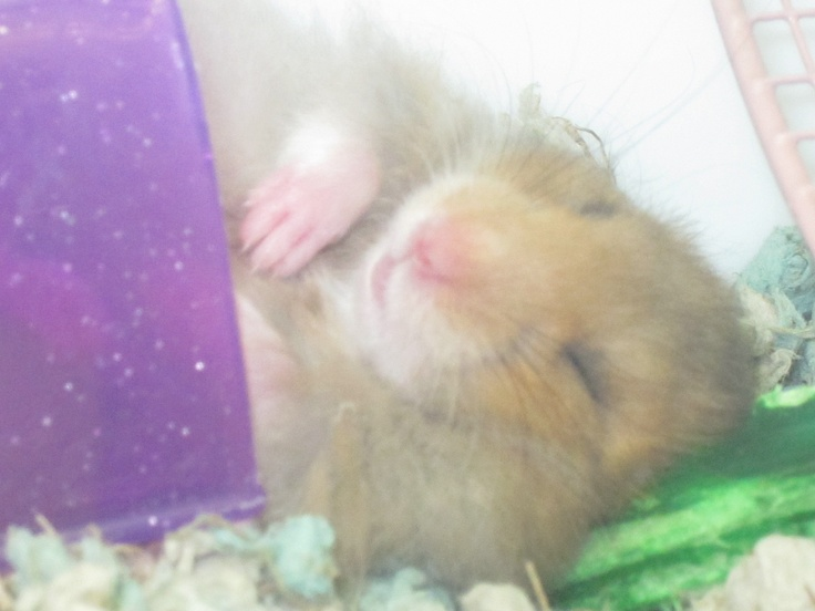 Can't say I'm much of a hamster fan, but I love this photo of the hamster sleeping in his tube with his little paws/hands resting. It's so cute.