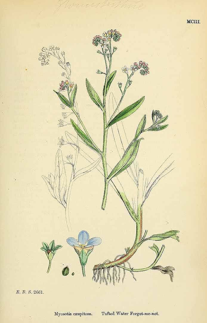 153168 Myosotis caespitosa Schultz / English botany, or coloured figures of British plants, ed. 3 [B] [J.E. Sowerby et al], vol. 7: t. 1103 (1867)