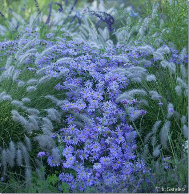 Pennisetum Tall Tails and Aster