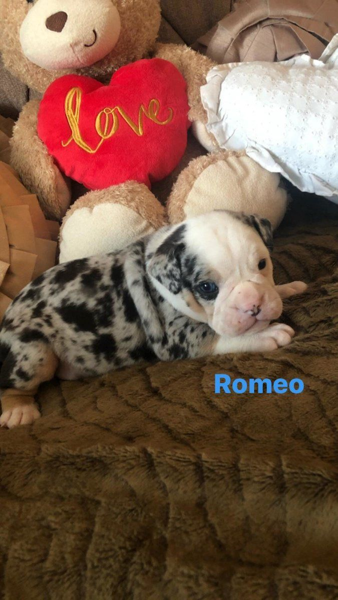 Olde English Bulldogge Pups For Sale In Dublin On Donedeal