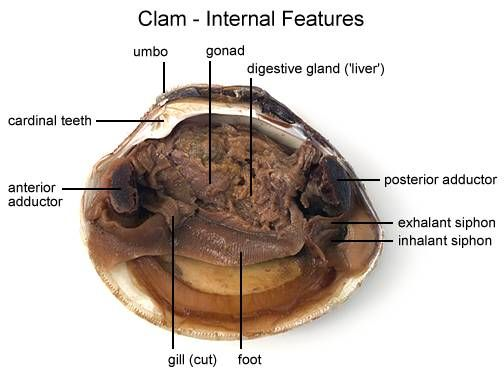 Clam Dissection | Online dissection | Pinterest | Clams ...