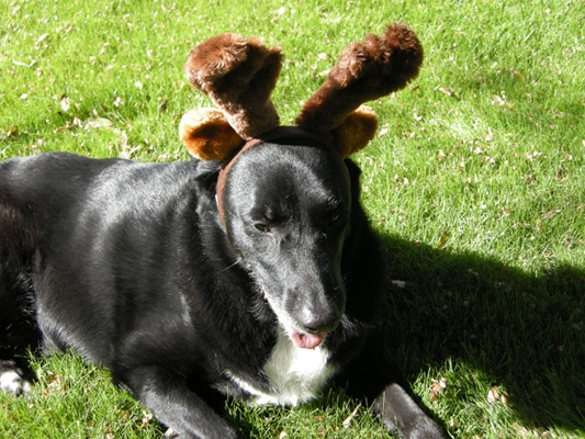Reindog: Shadow was showing some holiday spirit this week with a pair of reindeer antlers while enjoying the sun in Palm Springs with owner Barbara Zapf.