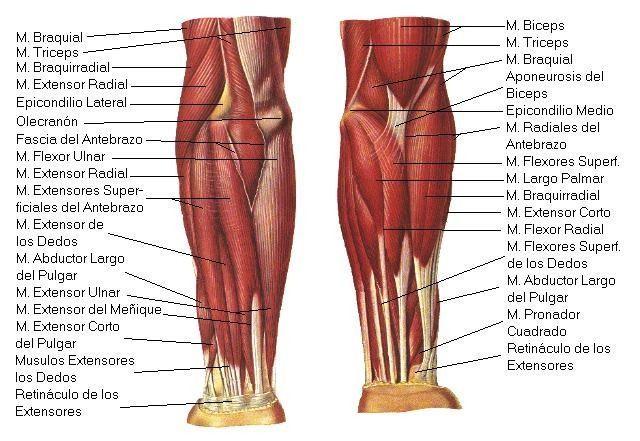 Nombre de los musculos de la pierna humana