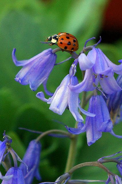 Ladybug on bluebells
