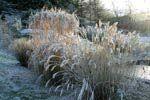 Frostnupet prydnadsgräs