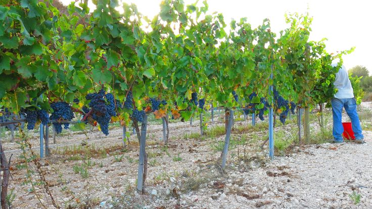 At the end its all worth the hard work we have put in. Harvesting our Organic vineyards in Pano Arodes Village, Paphos, Cyprus