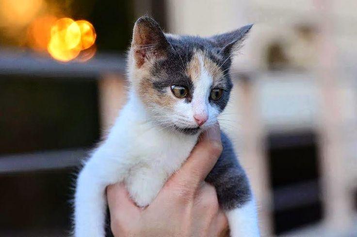 Η   ΕΦΗΜΕΡΙΔΑ   ΤΩΝ    ΣΚΥΛΩΝ: Η Αμελί, ναζιάρα γατούλα αναζητά μόνιμες αγκαλιές....