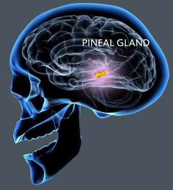 """The pineal gland (also called the pineal body, epiphysis cerebri, epiphysis or the """"third eye"""") is a small endocrine gland in the vertebrate brain. It produces the serotonin derivative melatonin, a hormone that affects the modulation of wake/sleep patterns and seasonal functions. Its shape resembles a tiny pine cone (hence its name), and it is located near the center of the brain, between the two hemispheres, tucked in a groove where the two rounded thalamic bodies join"""