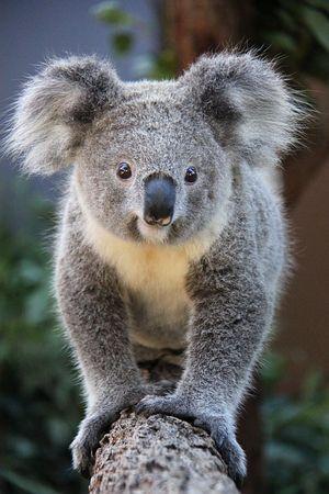 Look at me Cute Koala
