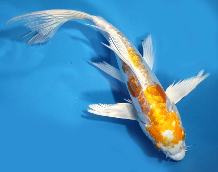 216 best images about ricks designs on pinterest koi art for Koi hariwake