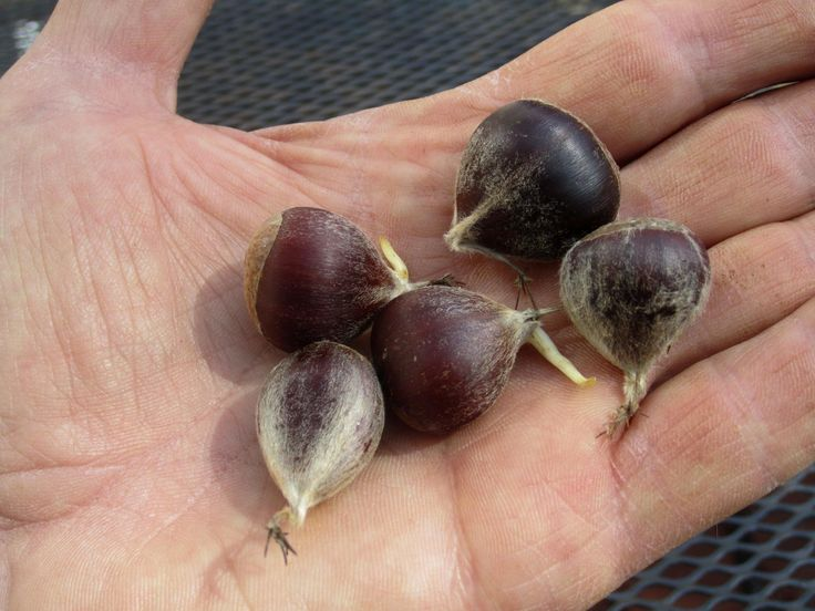 Howard County facility seeks volunteers to help chestnut trees come back - Baltimore Sun