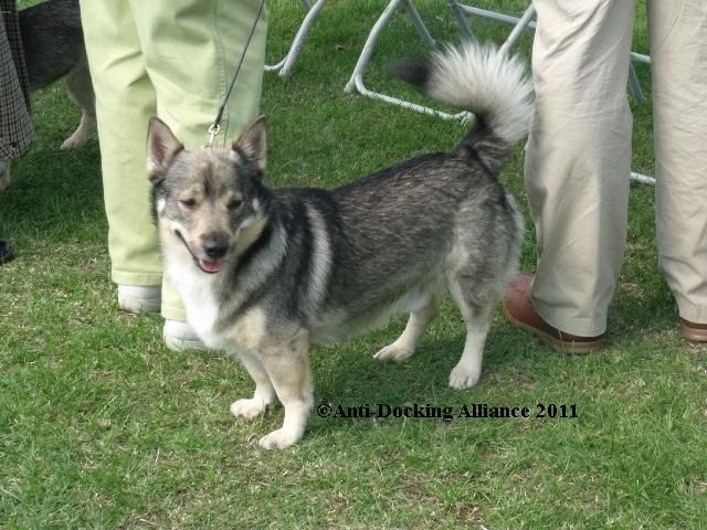 Anti-Docking Dogs' Tails and Cropping of Dogs' Ears - puppy sales ...
