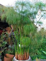 Cyperus papyrus growing tips