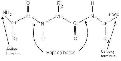 peptide bonds and polypeptides