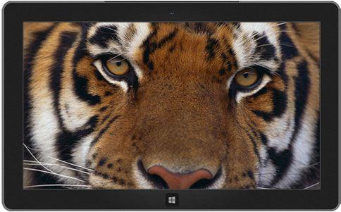 Bengaalse tijger (Panthera tigris altaica)